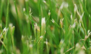 worn mower blade tears grass