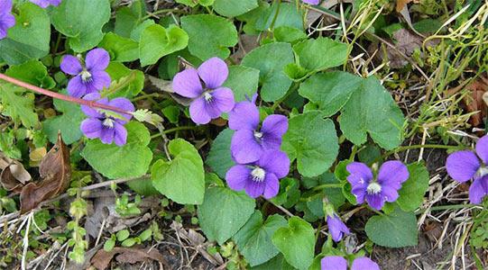 wild violets weed