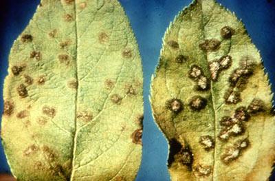 apple scab leaves